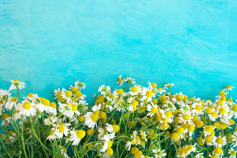 Freshly Picked Camomile Flowers Arranged as Lower Bottom Border on Watercolor Blue Wood Background. Beauty Skin Care Healthy Tea royalty free stock image