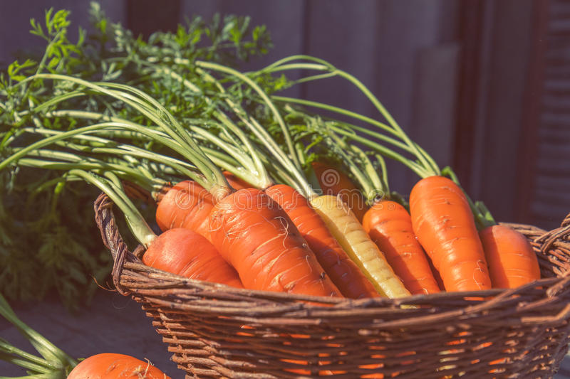 Freshly picked carrots in a basket. In a carrot field on a farm on a sunny day. Coloring and processing photo with soft focus in instagram style royalty free stock images