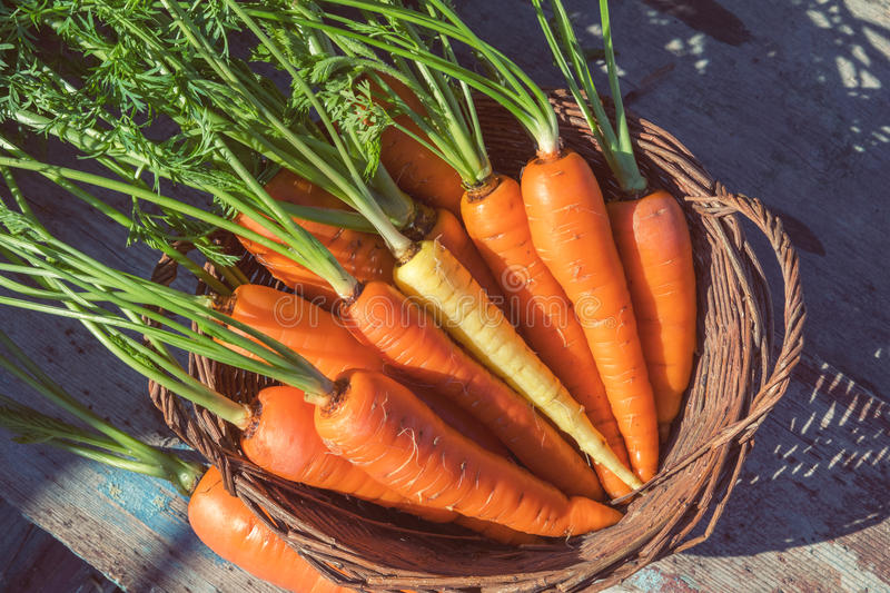 Freshly picked carrots in a basket. In a carrot field on a farm on a sunny day. Coloring and processing photo with soft focus in instagram style royalty free stock photography
