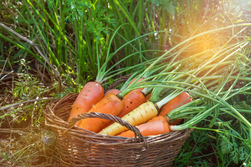 Freshly picked carrots in a basket. In a carrot field on a farm on a sunny day. Coloring and processing photo with soft focus in instagram style royalty free stock photos