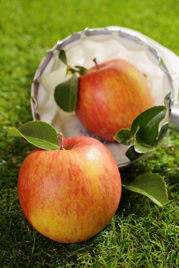 Freshly picked farm apple royalty free stock photo