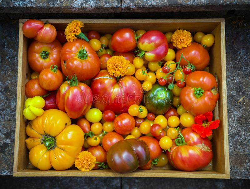 Freshly picked heirloom tomato harvest: pear shaped, beef heart, tigerella, brandywine, cherry, black put In wooden box with. Edible nasturtium amd marigold stock photography