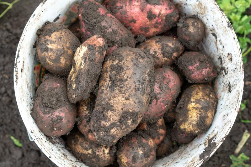 Freshly Picked Home Grown Organic Potatoes Solanum tuberosum from an Allotment in a Vegetable Garden in a Green Plactic Bucket stock photography
