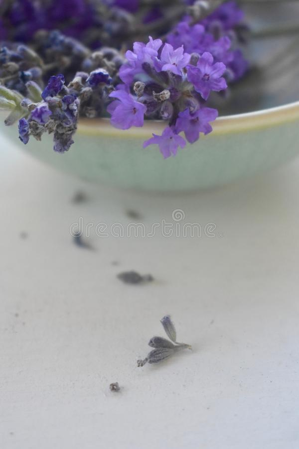 Freshly picked lavender flowers in a bowl. Organic lavender freshly harvested up close and aromatic royalty free stock photo