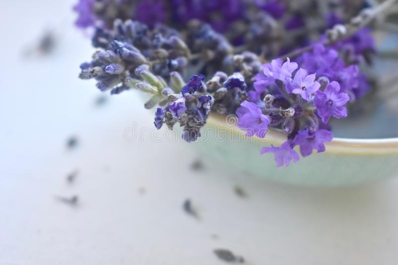 Freshly picked lavender flowers in a bowl. Organic wild crafted raw lavender freshly harvested up close inviting and aromatic royalty free stock image