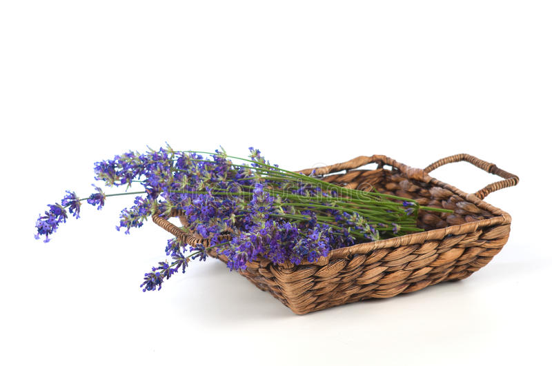 Freshly Picked Lavender Flowers in a Brown Basket on White Background. Horizontal of a brown woven basket filled with a bunch of lavender flowers on stalks on a royalty free stock images