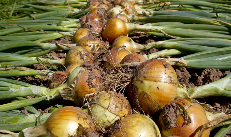 Freshly picked onions royalty free stock images