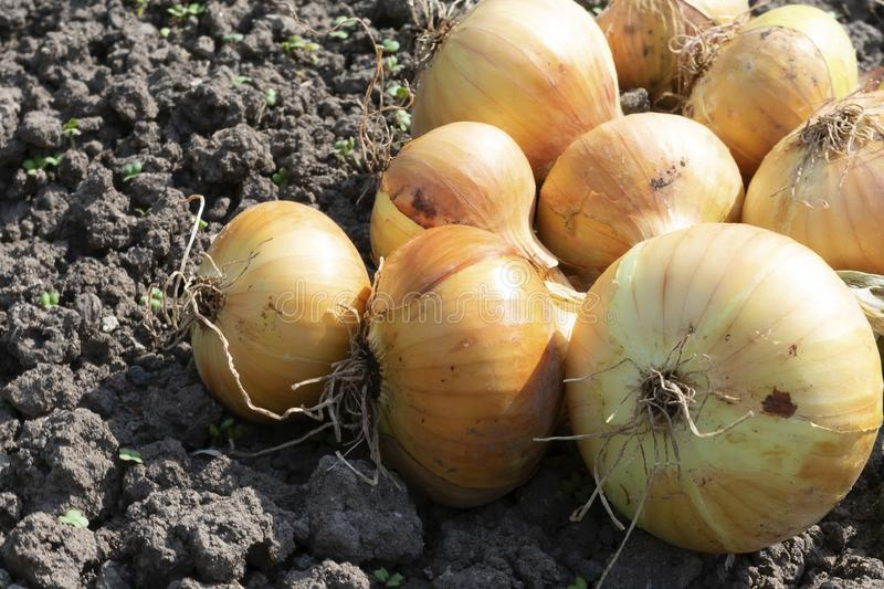 Freshly picked onions are lying on the ground stock photography
