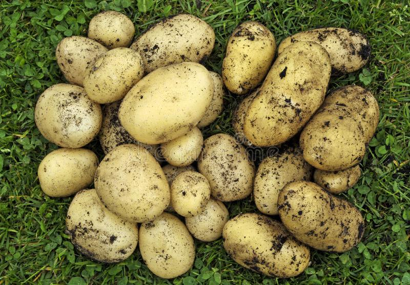 Freshly picked Potatoes royalty free stock photo