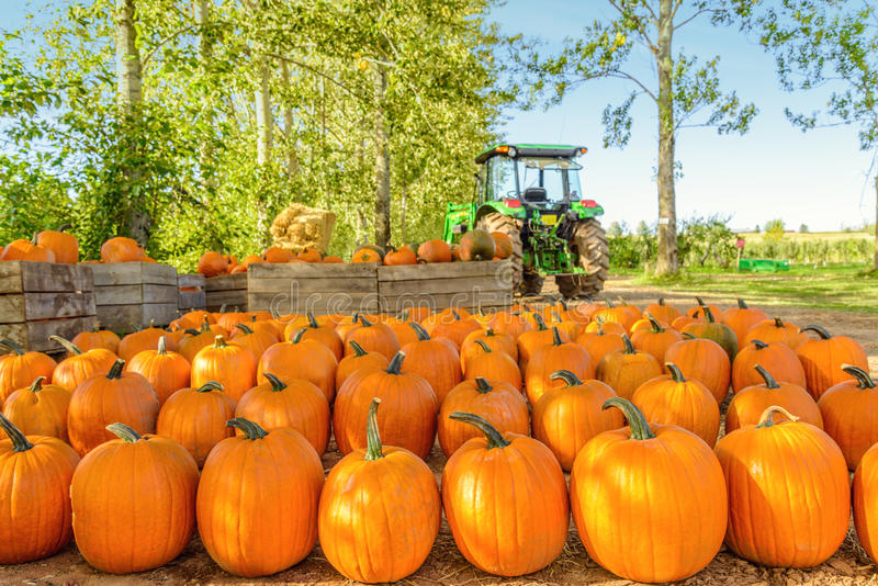 Freshly Picked Pumpkins In Early Fall royalty free stock photo