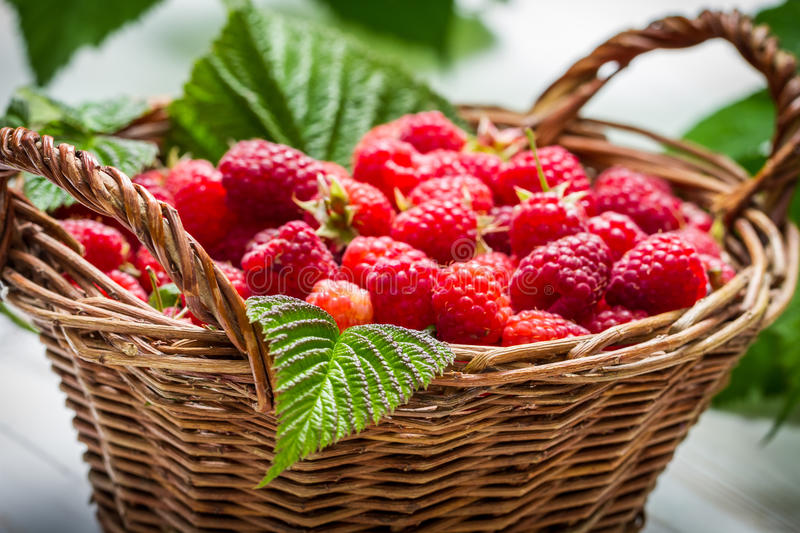 Freshly picked raspberries in the basket stock photos
