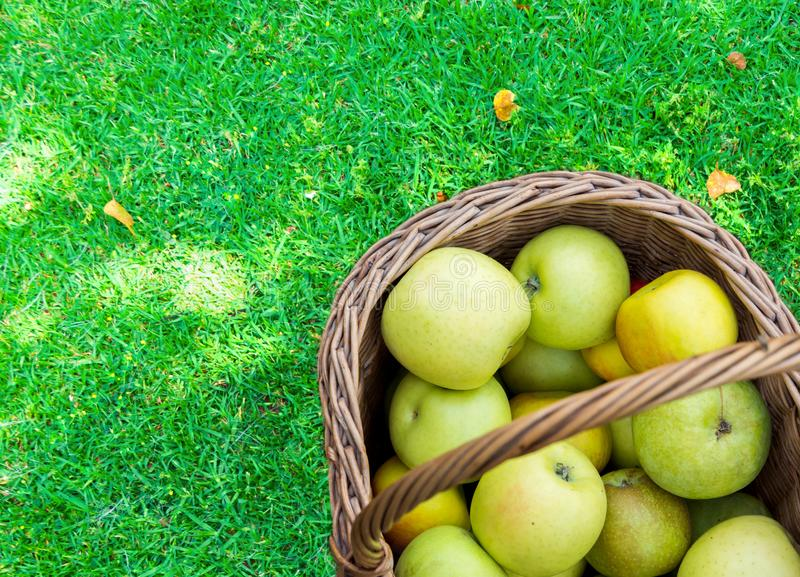 Freshly picked raw organic green yellow apples of various kinds in vintage wicker basket on grass in garden. Autumn fall harvest stock photography