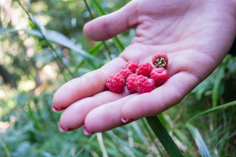 Freshly picked raw rasberries in a girl`s hand, handing them out. Close up of pink berries picked right from a natural, wild bush. On a mountain trail royalty free stock photography