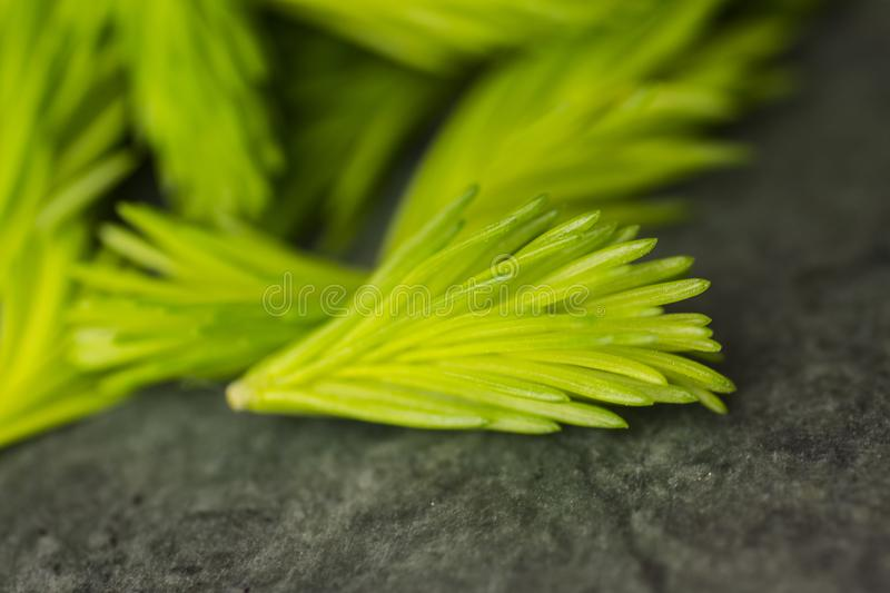 Freshly picked Spruce shoots from the Forrest royalty free stock photography