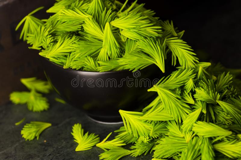 Freshly picked spruce shoots from the forrest stock photography