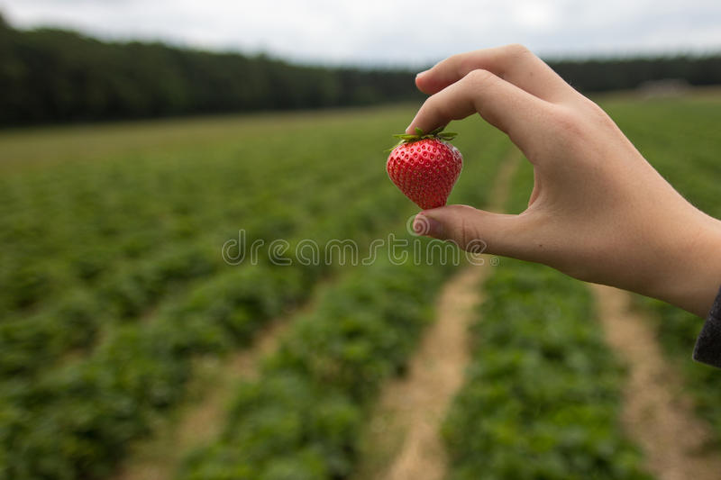 Freshly Picked Strawberry at Field royalty free stock photo