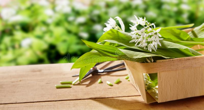 Freshly picked wild garlic for the kitchen stock images