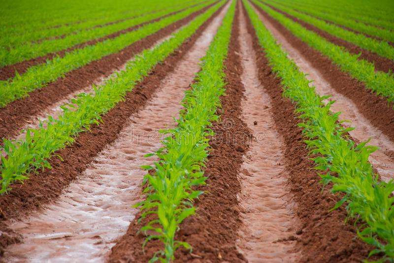 Download Freshly Planted Corn Field Stock Images - Image: 9813974