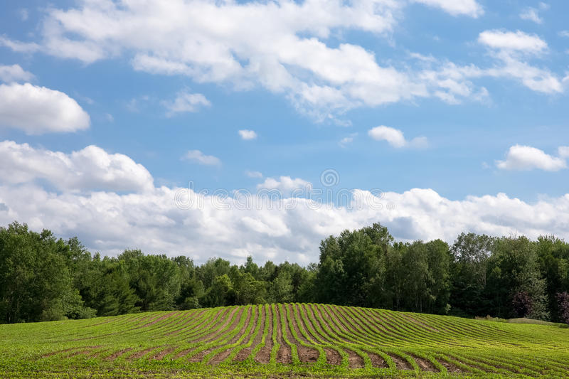 Freshly Planted Crop Rows Lead to Clouds, Blue Sky and Copy Space. Freshly planted rows of produce lead up a small hill to a blue sky with fluffy white clouds royalty free stock photos