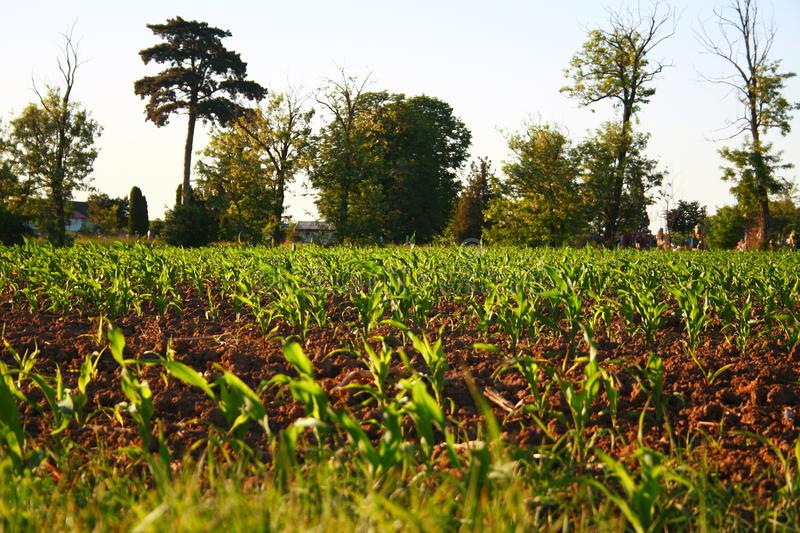 Freshly planted greens sprouting royalty free stock images