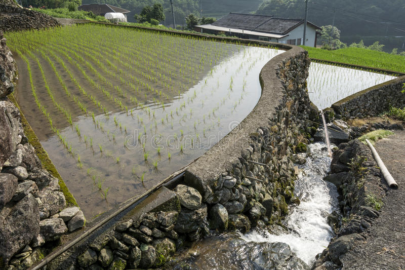Freshly planted paddy field stock images