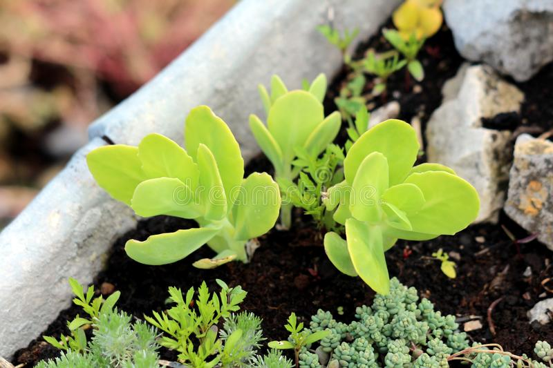 Freshly planted Showy stonecrop or Hylotelephium spectabile perennial plant with light green small alternate simple toothed leaves. Freshly planted Showy royalty free stock photos