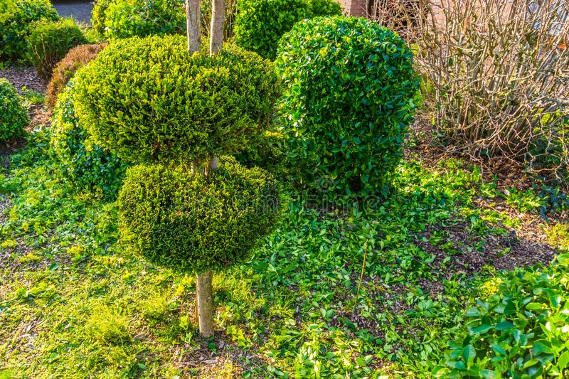 Freshly pruned backyard, garden maintenance, conifer tree with decorative round shapes stock photos