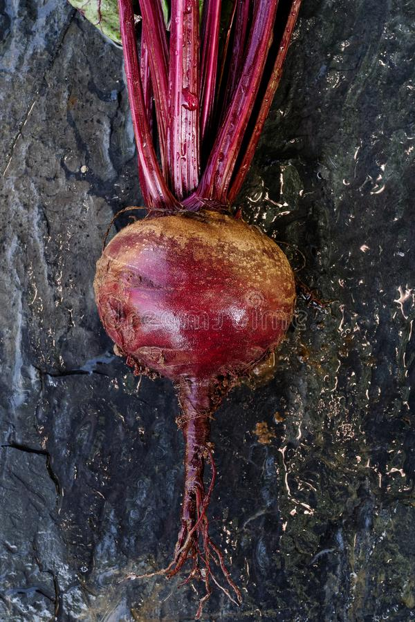 Freshly pulled up red beet root lying on wet slate from above. Freshly pulled up red beet root lying on wet slate royalty free stock photos