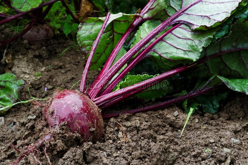 Freshly pulled up red beet root lying on wet soil. Freshly pulled up red beet root lying on wet soil in a garden stock photo