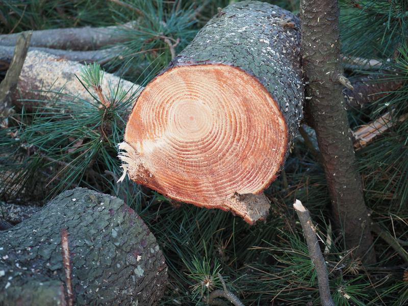 Freshly sawed pine log close-up in the forest. Wood round timber. Cut pine royalty free stock image