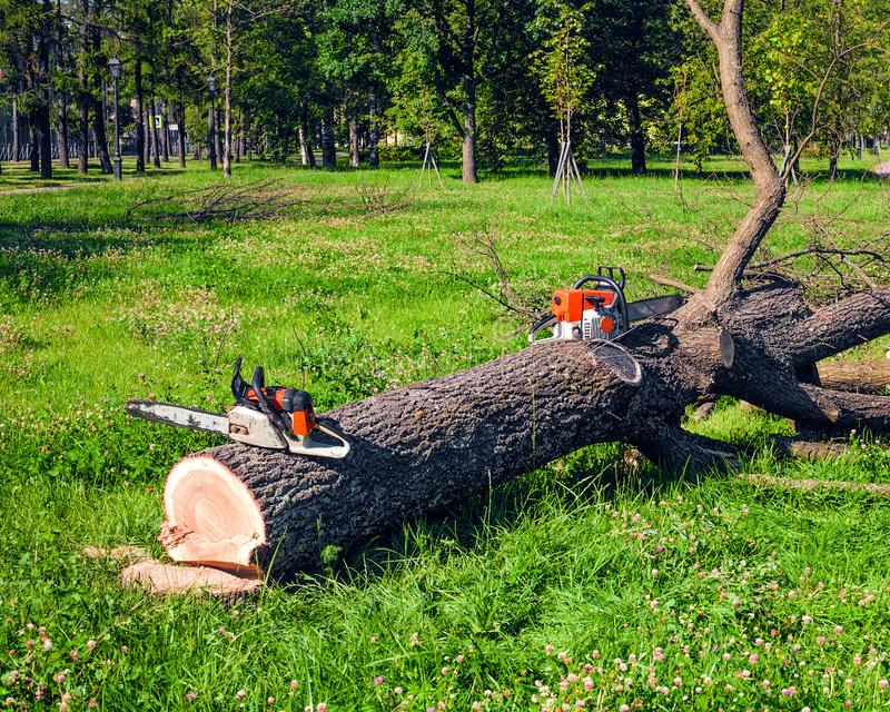 Freshly sawn tree in the park and two chainsaws near. A sawn tree in the park and two chainsaws near royalty free stock photo