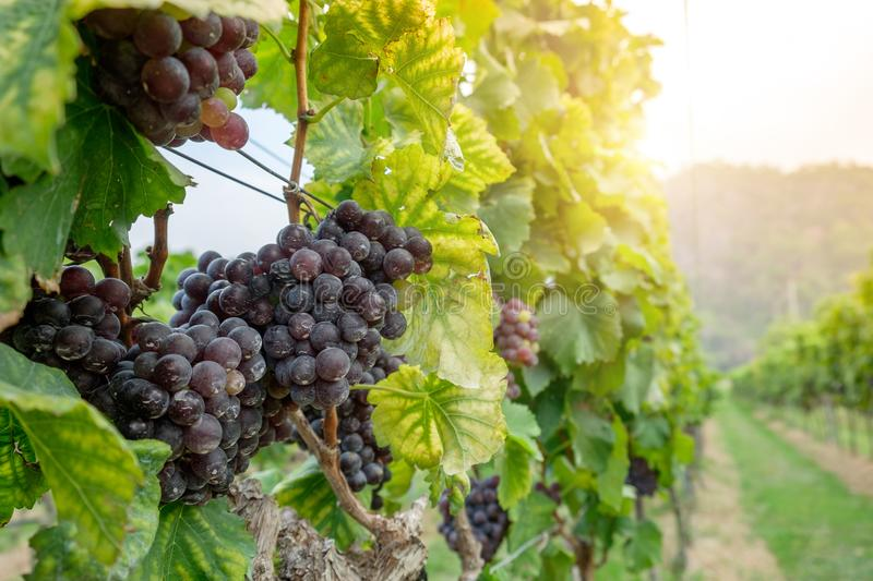 Freshly Shiraz grapes for wine production stock images