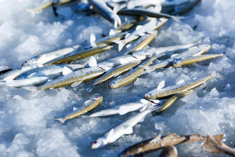 Freshly smelt lies on the ice of the frozen sea. royalty free stock photography