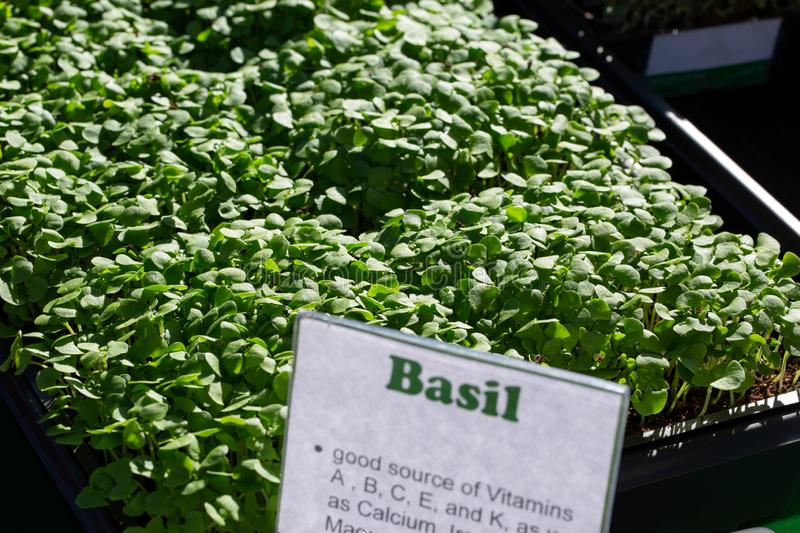 Freshly Sprouted Basil Microgreens at a local market stock photo