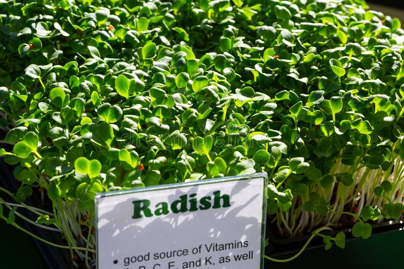 Freshly Sprouted Radish Micro greens royalty free stock photo