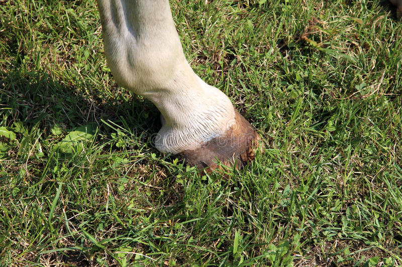 Freshly washed horse hoof of leg closeup on green grass stock photography