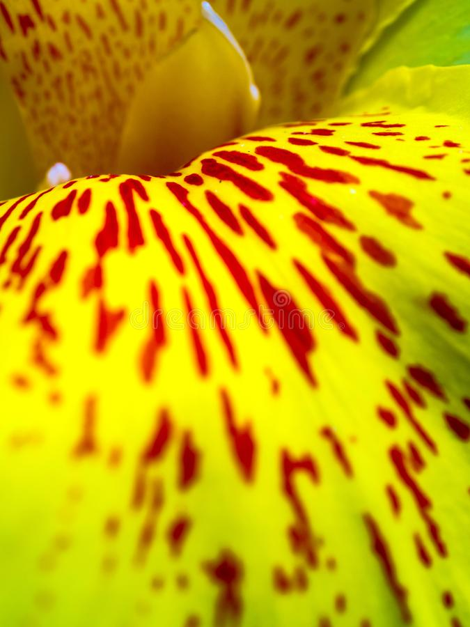 Freshness flower red spots on bright yellow fragile petal of Can. Fresh flower red spots on bright yellow petals, Vivid color and fragile petal of Canna indica stock images