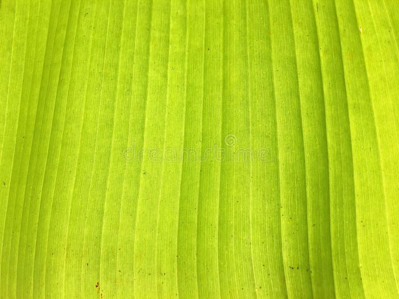 Banana leaf layer stock photography