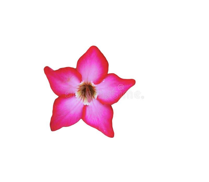 Freshness pink adenium obesum flower on white background. Single beautiful flower isolated royalty free stock photo