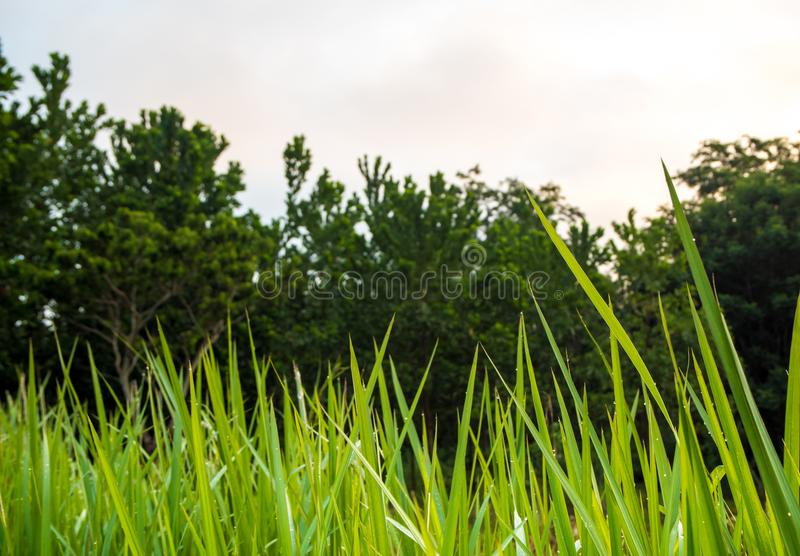Freshness verdant green of Vetiver Grass blade. Inside the Jungle royalty free stock photography