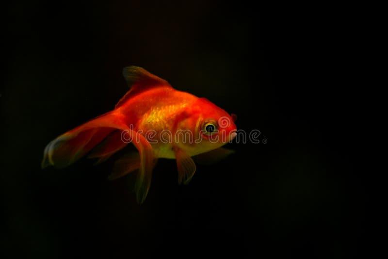 Freshwater aquarium fish, goldfish from Asia in aquarium, carassius auratus royalty free stock photo