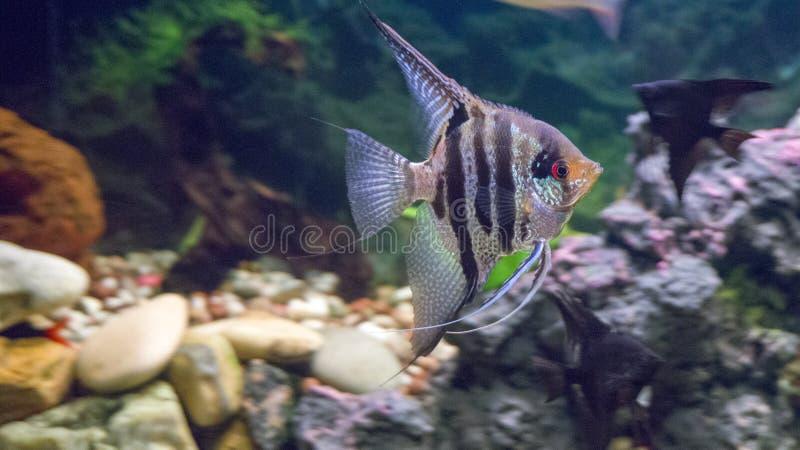 Freshwater aquarium fish Pterophyllum scalare stock images