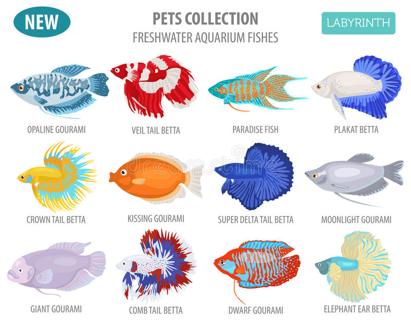 Freshwater aquarium fishes breeds icon set flat style isolated o. N white. Labyrinth fishes: betta, gourami. Create own infographic about pets. Vector royalty free illustration