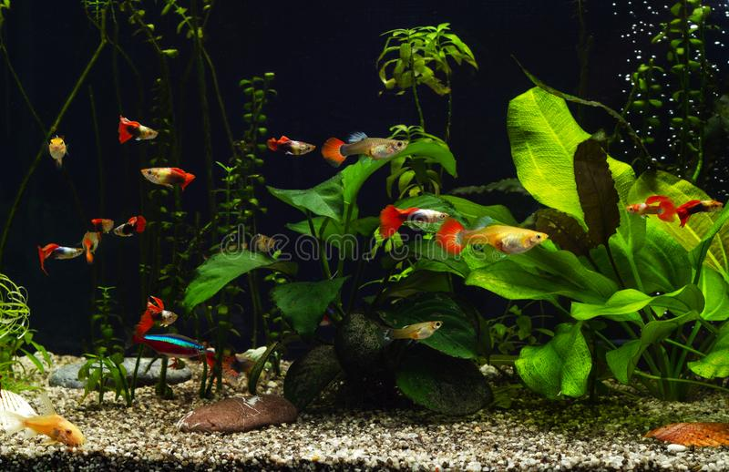 Freshwater aquarium with group of fancy guppies. Freshwater aquarium with plants and fancy guppies stock images