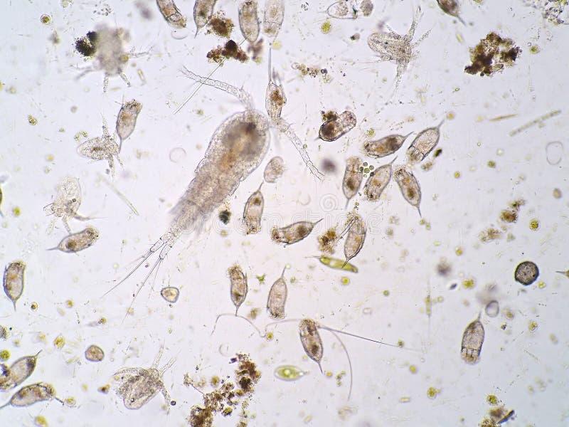 Freshwater aquatic plankton royalty free stock photos