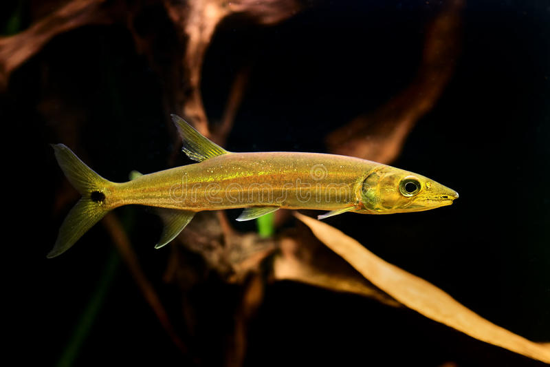 Freshwater Barracuda Fish (Ctenolucius Hujeta) Stock Photos