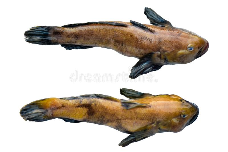 407 Bullhead Fish Photos Free Royalty Free Stock Photos From Dreamstime