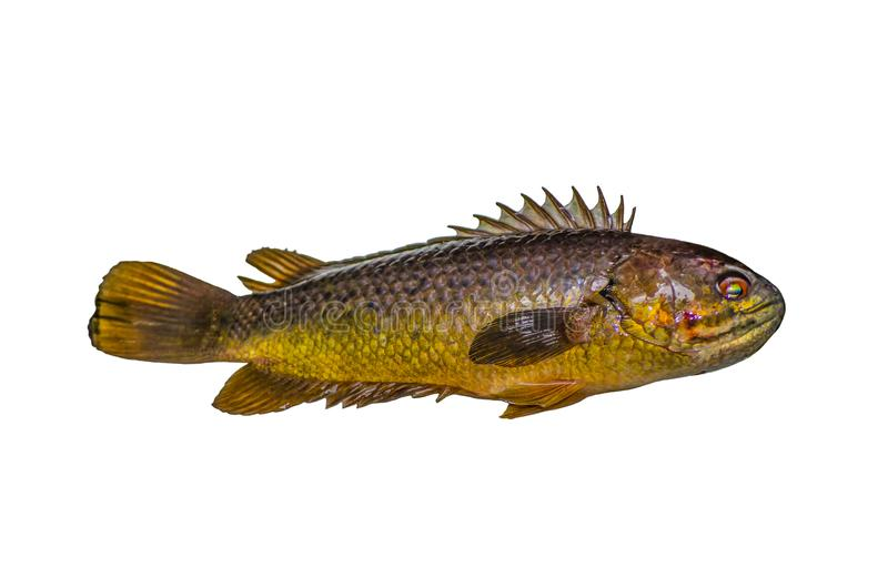 Freshwater Climbing perch fish isolated on white background. stock photography
