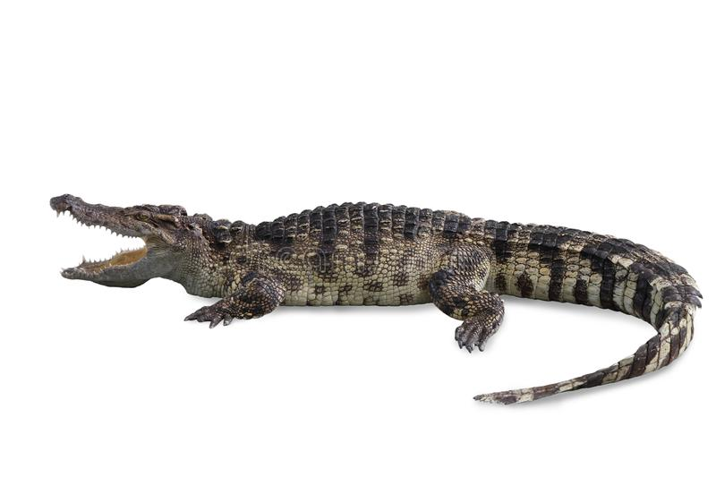 Freshwater crocodile isolated with clipping path. stock photos