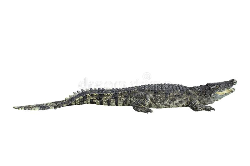 Freshwater crocodile on a white background with clipping path royalty free stock photos